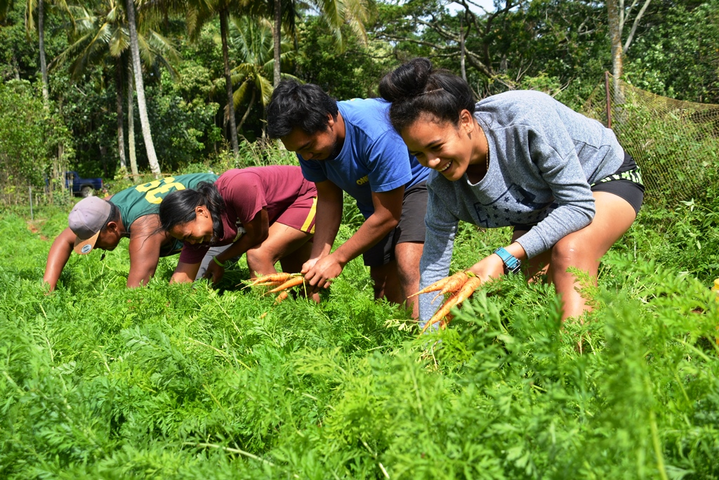 Young Farmers of Mangaia are harvesting their organically grown carrots for the local market, from farm to table. Photo: Melina Tuiravakai, Climate Change Cook Islands