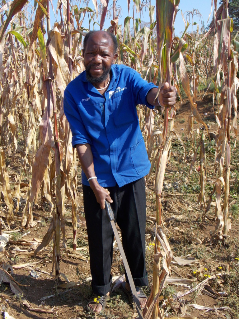 With changing rainfall patterns in Swayimane, Mr Joseph Ncube has learnt of the opportunities provided in night mist to help grow his crops. Through interacting closely with the uMngeni Resilience Project team, his maize and vegetable garden has helped him increase in both maize and beans production. The project has also helped him save money from buying seeds for his vegetable garden.
