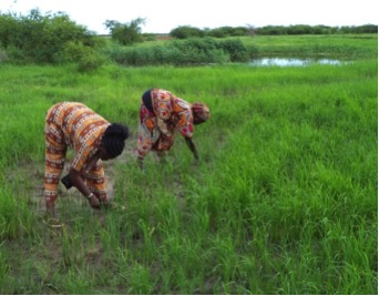 Rice-growing areas were restored in Joal, Senegal, and benefited women growers, thanks to installation of anti-salt barriers. Photo: CSE